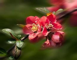 membrillo de flores rojas