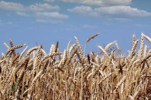 golden wheat and blue sky summer season photo