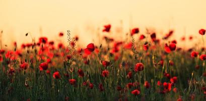 Red poppies in warm evening light