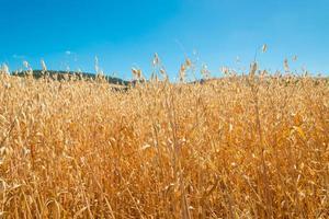Oat field photo