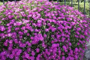 Mesembryanthemum purple - Aizoaceae in the garden