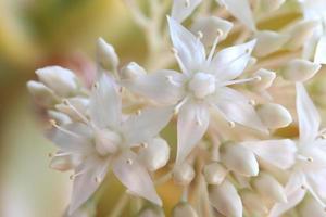 Sedum Flowers photo