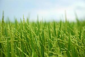 Primer plano de un campo de arroz en Malasia foto