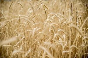 close up de trigo