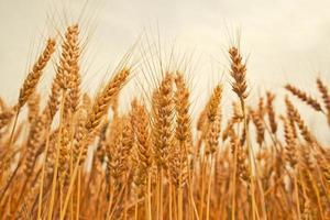 Wheat ears in the field. photo