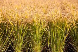 paddy rice photo