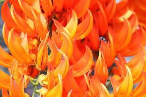 orange flower of newguinea creeper