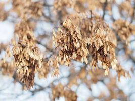 Ash seeds on branches in winter