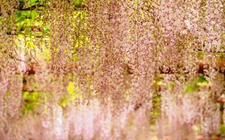 serie de flores de primavera, enrejado de glicina