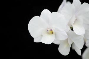 orquídea blanca sobre fondo negro foto