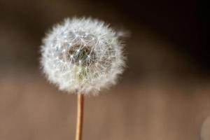 Fluffy dandelion weed