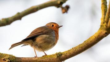Robin redbreast in tree
