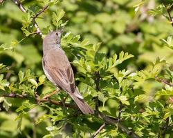 Whitethroat with spider photo