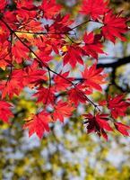hojas de arce otoñal