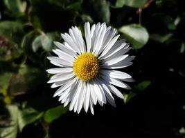 Close-up of a daisy