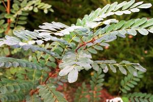 Acacia twigs with leaves and thorns