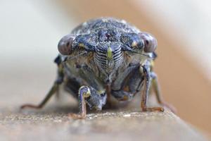 Close-up of a cicada photo
