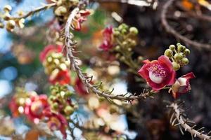 Shorea robusta photo