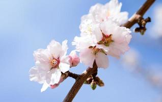 Blossoming almond tree photo