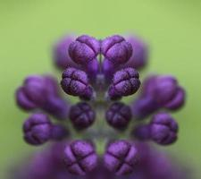 Purple Lilac buds mirrored.