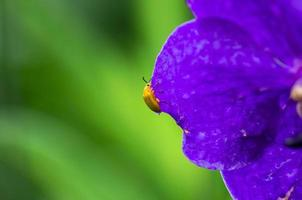 Yellow bug on leaf of purple orchid
