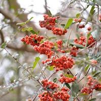 bayas de arbusto de espino de fuego (pyracantha) foto