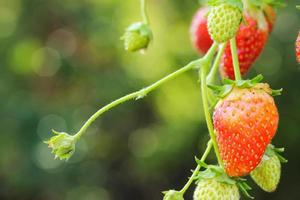 Strawberris growing on a plant