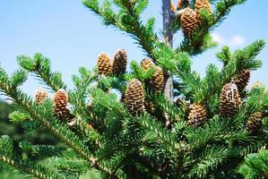 Pine cone photo