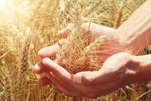 Ripe wheat ears on hand on field photo