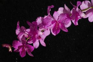 Dendrobium pink orchid in rain drop photo