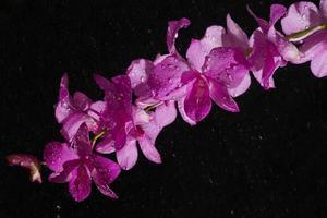 Dendrobium pink orchid in rain drop