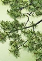 お濠の松 Pine tree photo