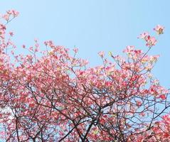 Red dogwood blossom