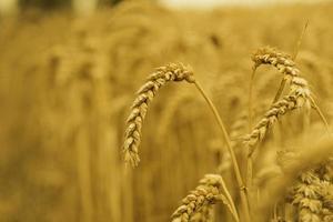 Wheat! photo