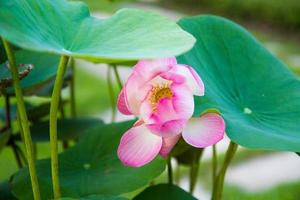 lindas flores de lótus rosa com folhas verdes