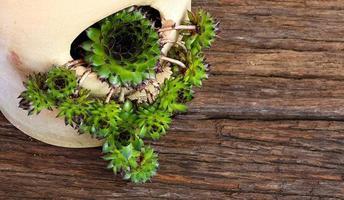 Succulent Sempervivum calcareum in ceramic plant pot with side o