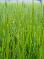 rocío en la granja de arroz en la mañana foto