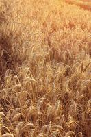 Golden wheat ears in agricultural field in sunset.