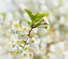 Flores de cerezo foto