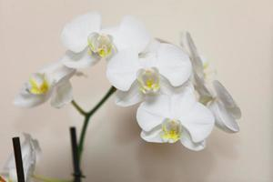 Phalaenopsis. White orchid on wall background