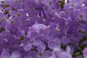 fundo macro de flores lilás