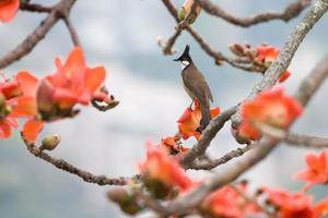 Bird Crested Bulbul with Bombax ceiba (Red Cotton)