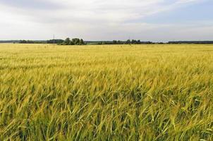 campo amarelo de centeio ao pôr do sol