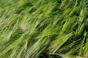 Background of a fresh and green sunlit barley field photo
