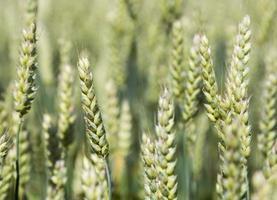 trigo crescendo no campo