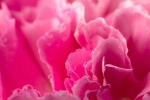 Carnation petal