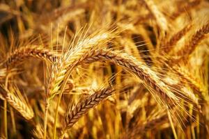 Golden ears of wheat on the field. photo