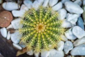 cactus en maceta redonda aming rocas blancas