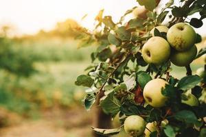 Green apples on tree photo