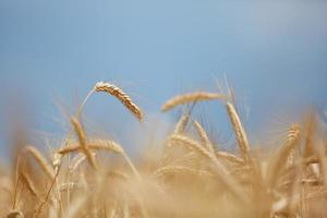Yellow grain photo